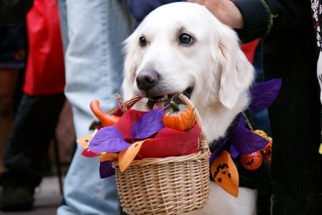 ハロウィンに参加する犬